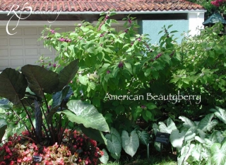 american_beautyberry