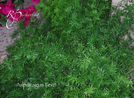asparagus_fern