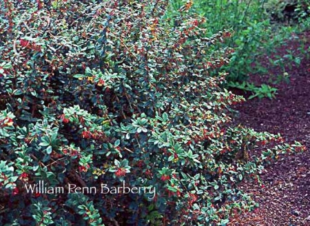 barberry_william_penn