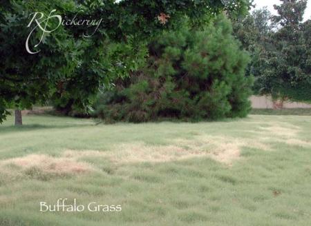 buffalo_grass