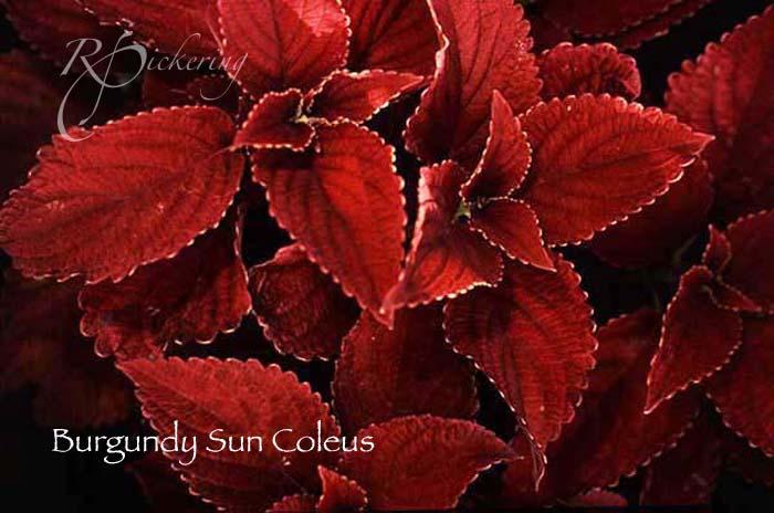 burgandy_sun_coleus