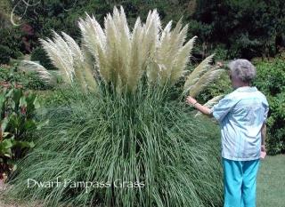 dwarf_pampas_grass