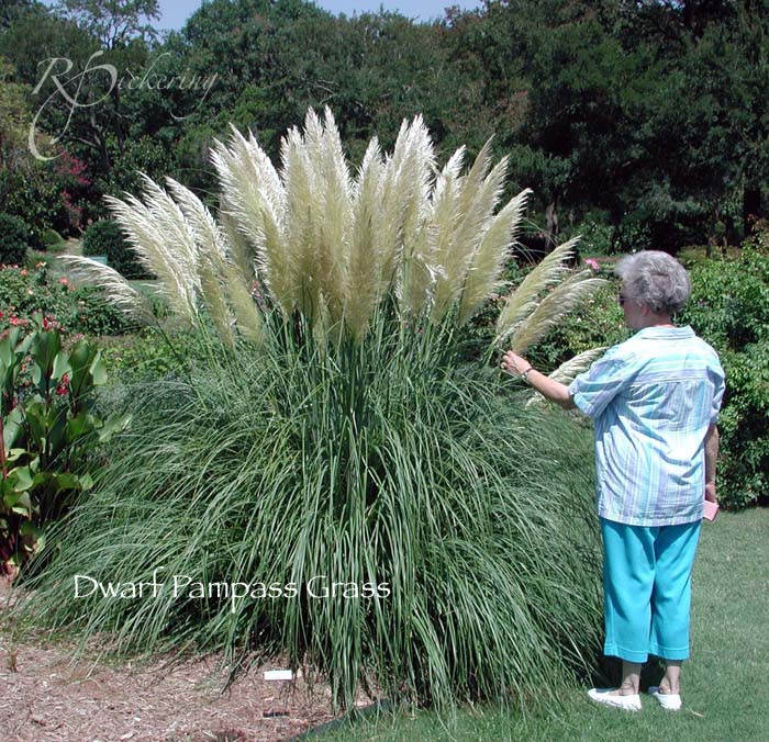 Recommendations for drought resistant and tolerant plants for Landscaping ideas with pampas grass