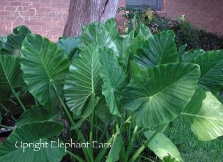 elephant_ears_upright