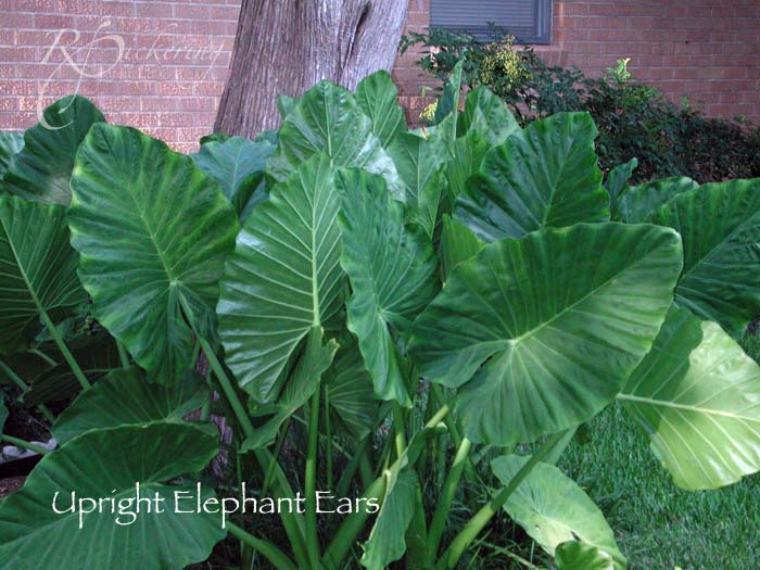 elephant_ears_upright
