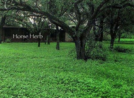 horse_herb