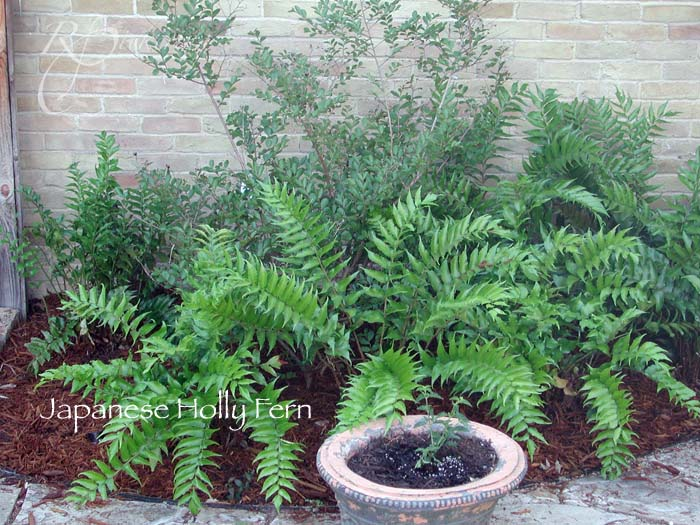 japanese_holly_fern