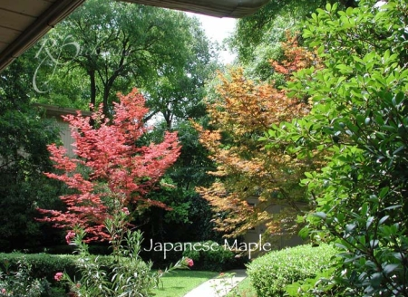 japanese_red_maple