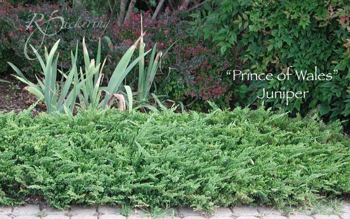 juniper_prince_of_wales