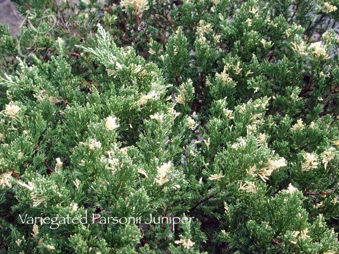 juniper_variegated_parsonii