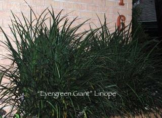 liriope_giant