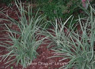 liriope_silver_dragon