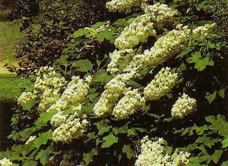oak_leaf_hydrangea