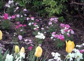 pinks_tulips