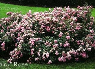 rose_the_fairy