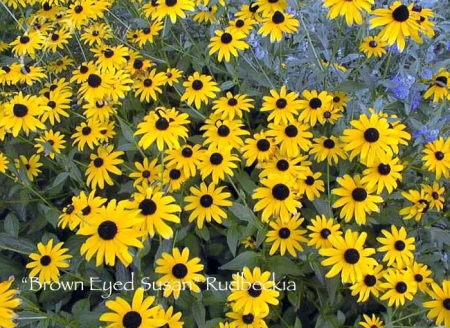 rudbeckia_brown_eyed_susan