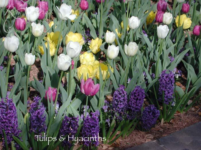 tulips_hyacinths