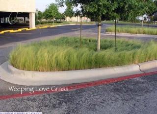 weeping_love_grass