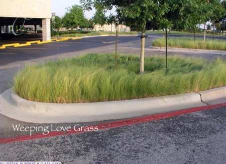 weeping_love_grass
